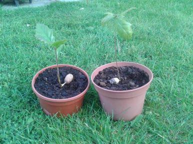 acorn 4